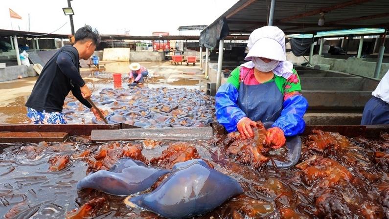 滦南:海蜇加工忙
