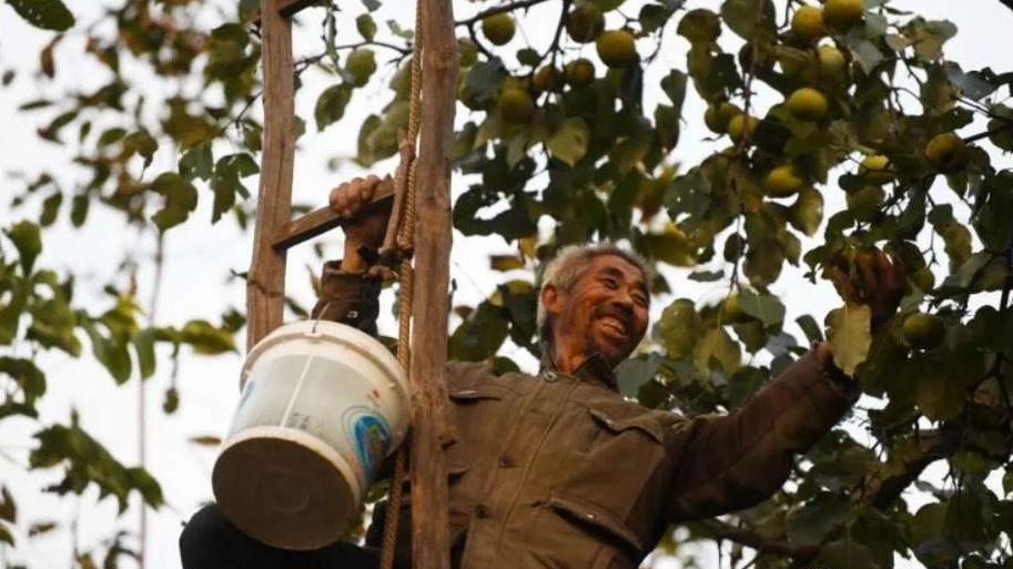 迁安长城脚下百年梨树重获丰收!